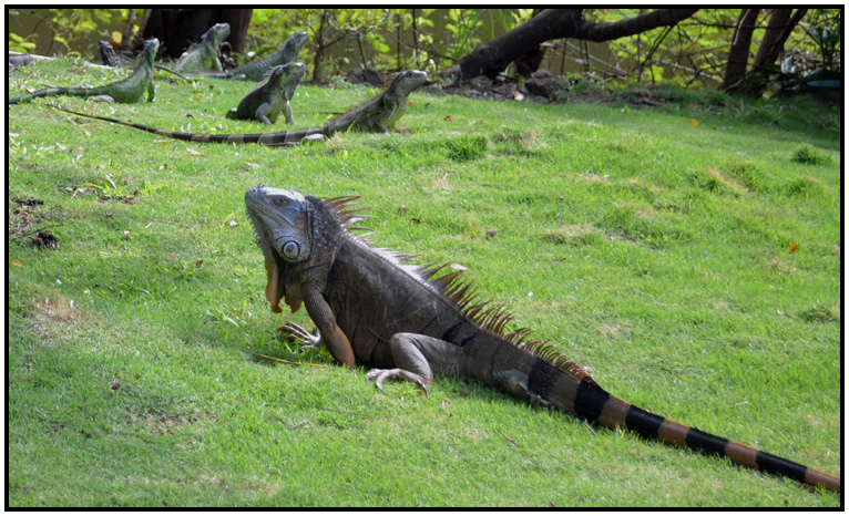 What are the different types of iguanas?